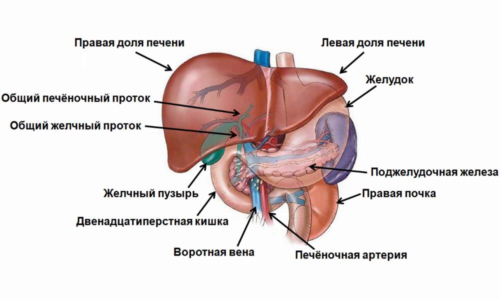 Герпес при гепатите с лечение