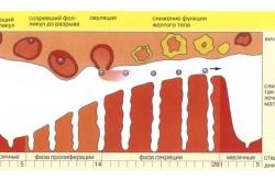Расчет времени проведения УЗИ по менструальному циклу