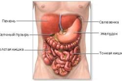 Расположение селезенки в организме