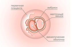 Плод на четвертой неделе беременности