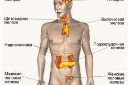Расположение желез в организме человека